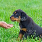 Get Free Rottweiler Puppies Gif