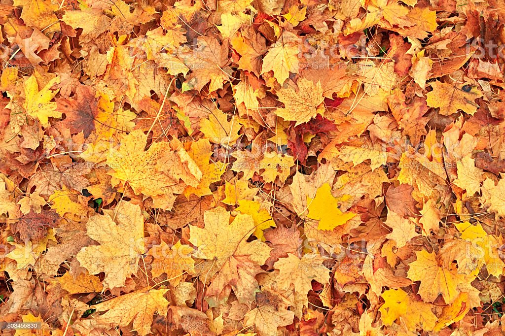 Maple Leaf Wallpaper For Fall Season Seamless Autumn Leaves Background Stock Photo Amp More