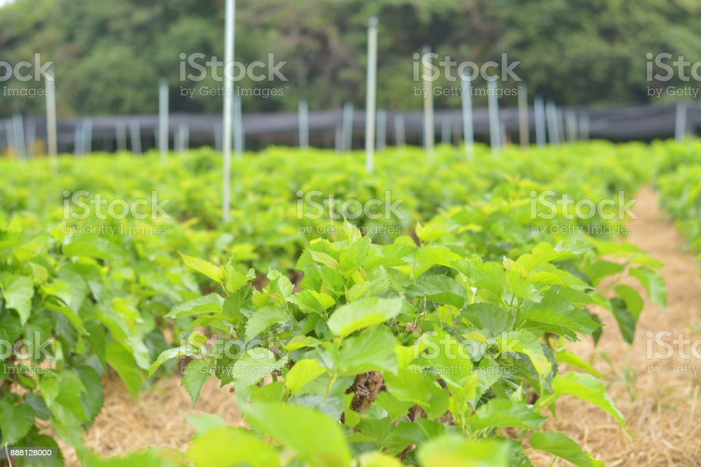 seedlings of mulberry are