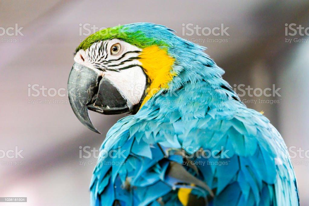 severe macaw parrotclose up