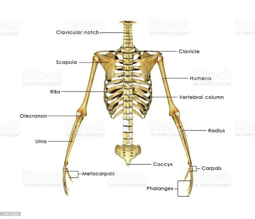 small resolution of skeleton labelled royalty free stock photo