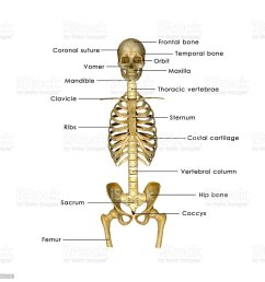 skull ribs and hip label stock image  [ 1024 x 1024 Pixel ]