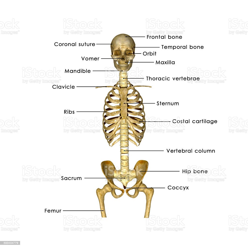 hight resolution of skull ribs and hip label stock image