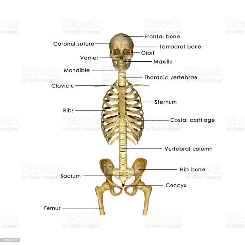 small resolution of skull ribs and hip label stock image