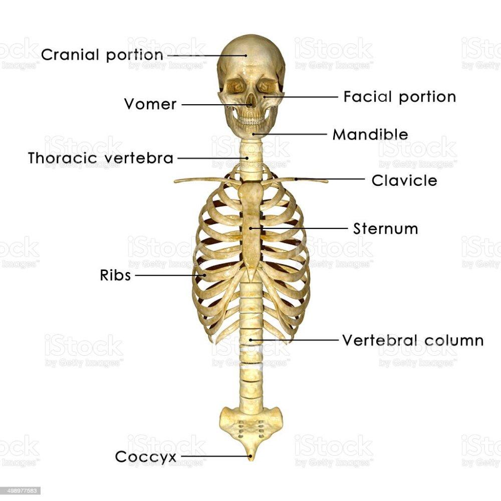 medium resolution of skull with ribs stock image