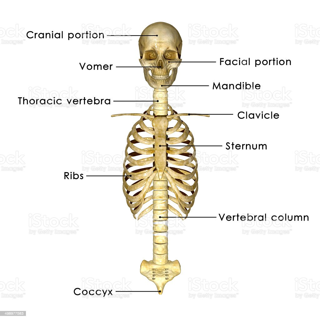 hight resolution of skull with ribs stock image