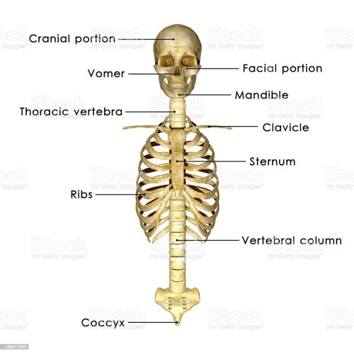 small resolution of skull with ribs stock image