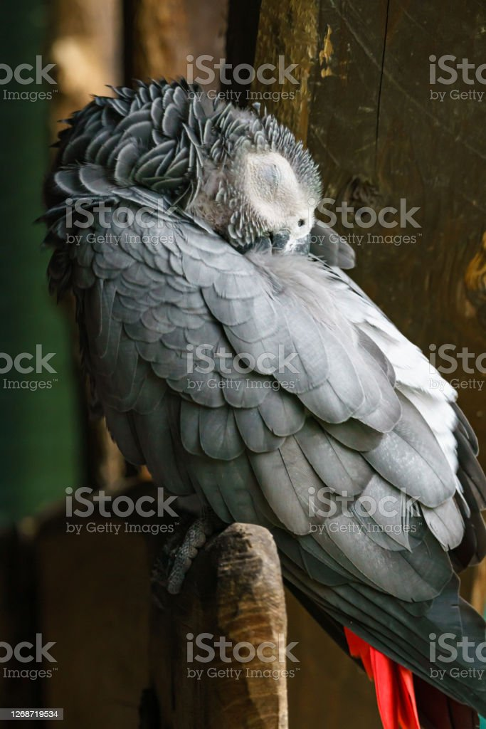 Snowy Owl Sleeping : snowy, sleeping, Sleeping, Snowy, Stock, Photos,, Pictures, Royalty-Free, Images, IStock