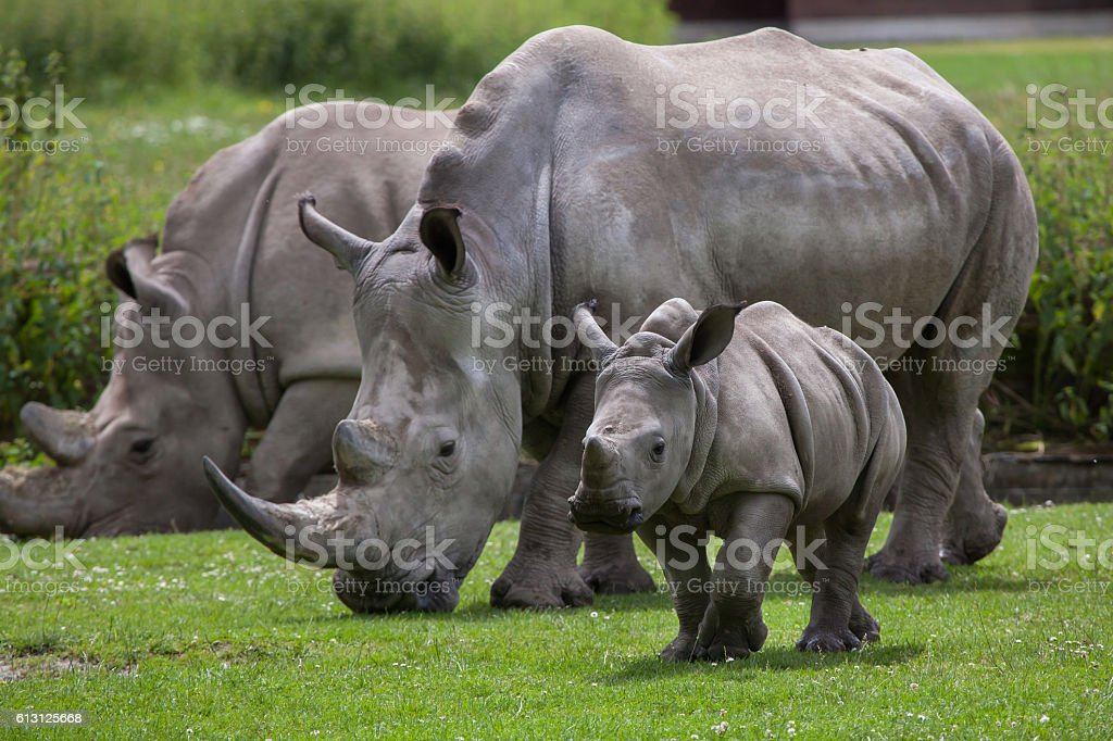 Southern White Rhinoceros Stock Photo Download Image Now