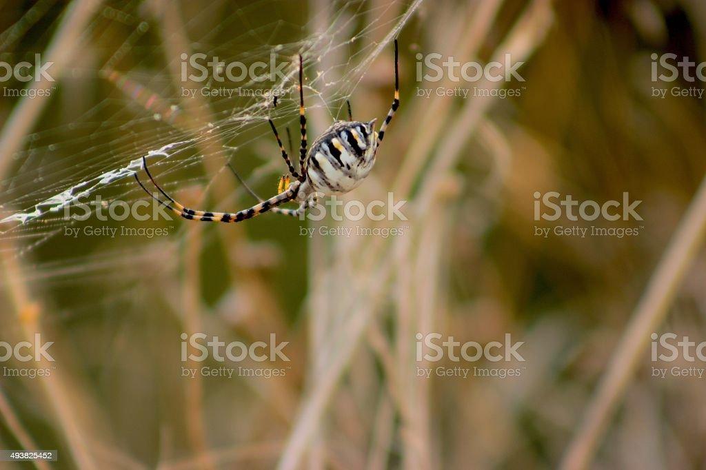 spanish spider stock photo