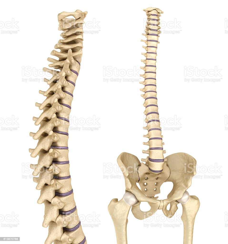 hight resolution of spinal cord and pelvis medically accurate 3d illustration royalty free stock photo