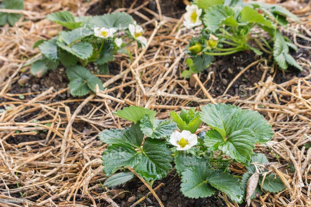 strawberry seedlings growing on