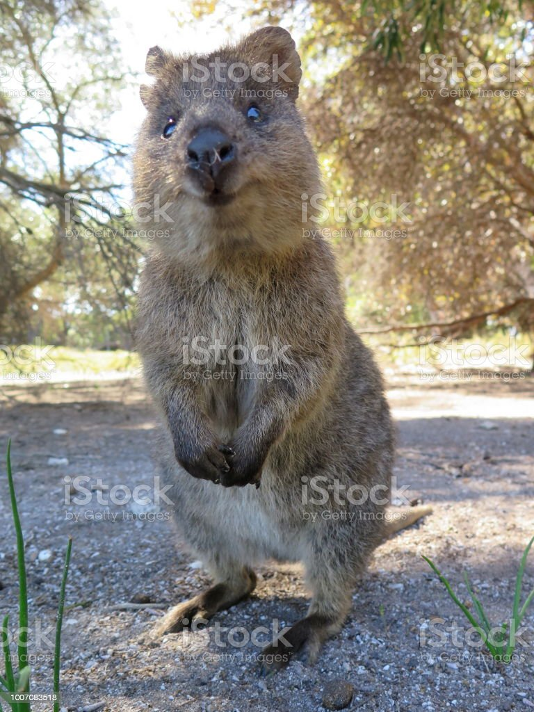Top 60 Quokka Stock Photos Pictures And Images Istock