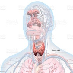 Throat Anatomy Diagram Thallium Bohr Thyroid Gland Labeled In Head And Stock Photo More Image