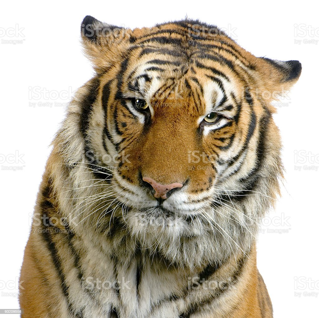 tigers face stock photo