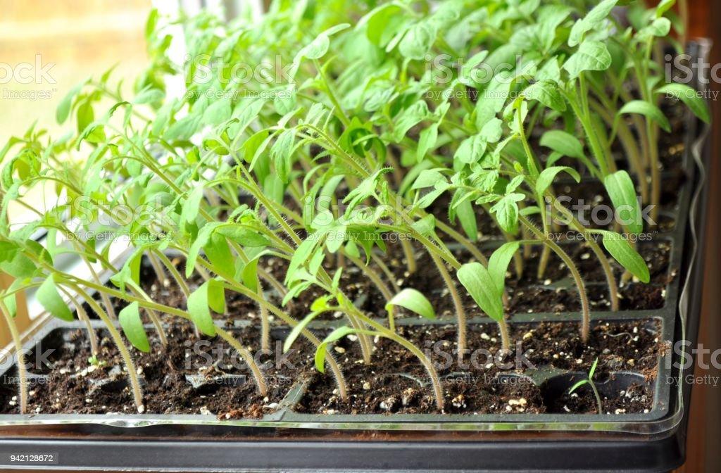 tomato seedlings growing toward