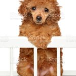 Toy Poodle Puppy Posing In Baby Crib Stock Photo Download Image Now Istock