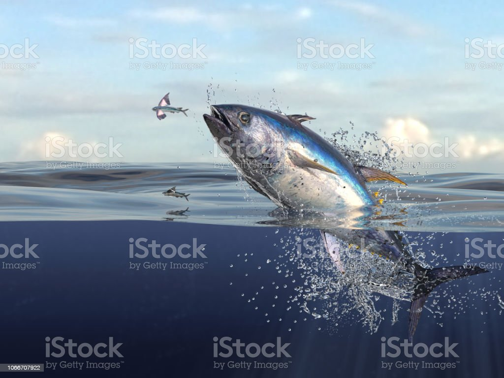 hight resolution of tuna fish jumping out of water half of it in water so many splashes and action in ocean 3d render stock image