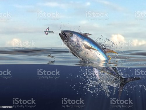small resolution of tuna fish jumping out of water half of it in water so many splashes and action in ocean 3d render stock image