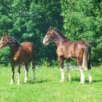 Two Clydesdale Horses In Field Stock Photo Download Image Now Istock