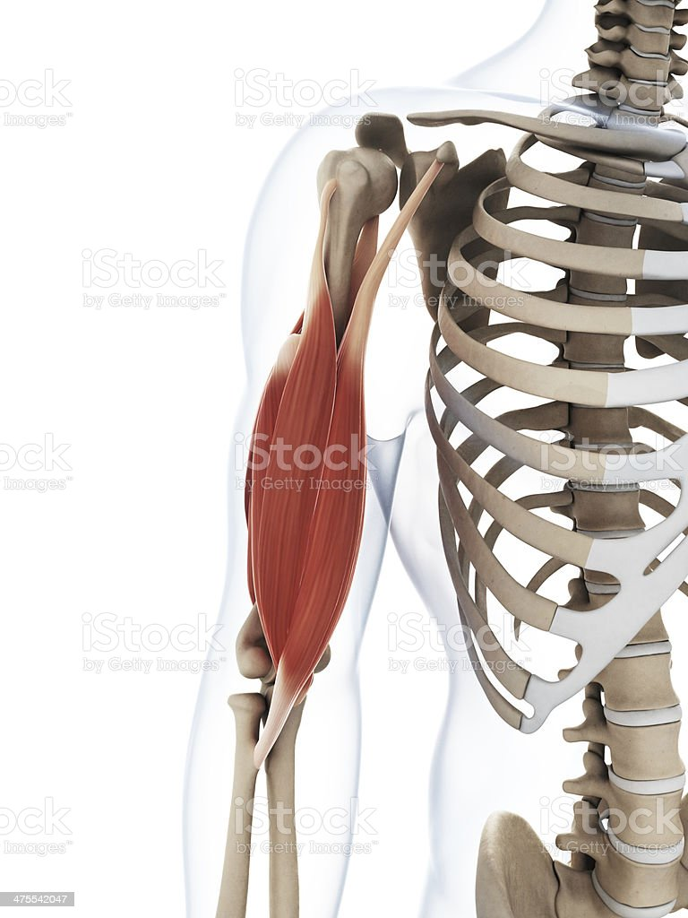 upper arm muscles diagram subwoofer wiring royalty free anatomy pictures images and stock photos photo