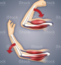 upper arm muscles royalty free stock photo [ 845 x 1024 Pixel ]