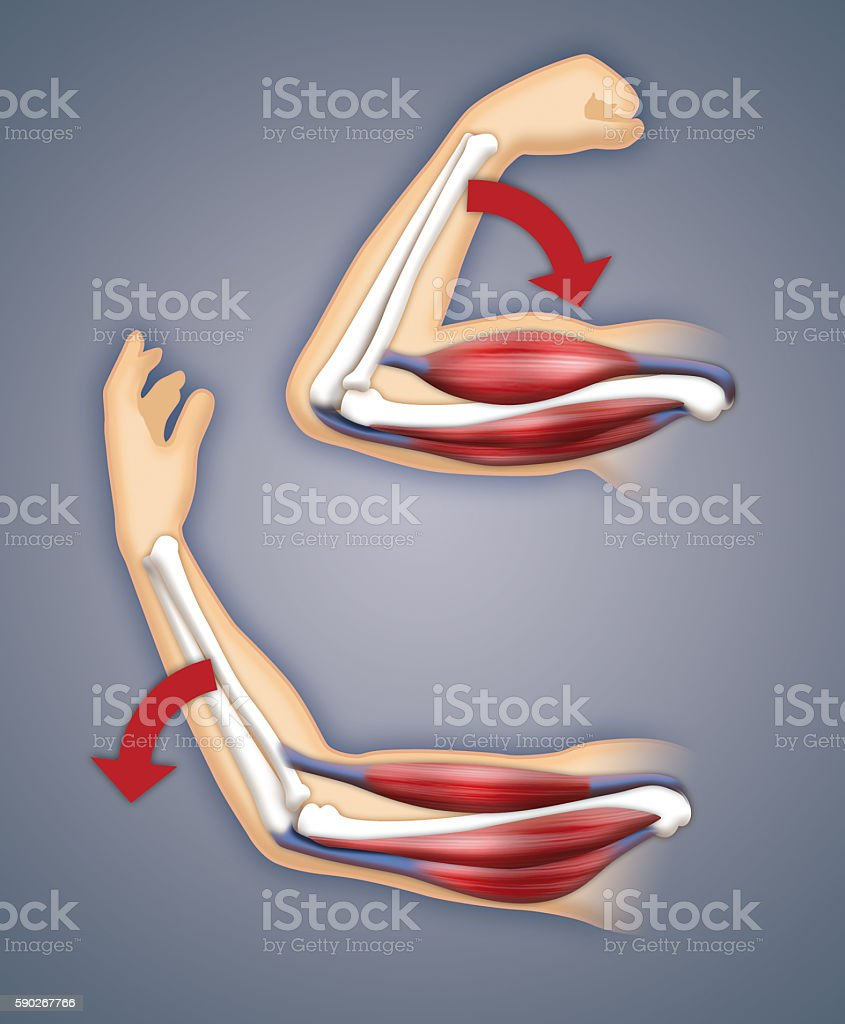 hight resolution of upper arm muscles royalty free stock photo