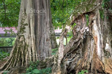View The Root Of A Stocking Tree At A Village At The Forest On The Forest Mount Bắc Sơn Vietnam Stock Photo Download Image Now iStock