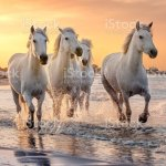 White Horses In Camargue France Stock Photo Download Image Now Istock