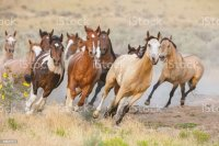Royalty Free Wild Horses Pictures, Images and Stock Photos ...