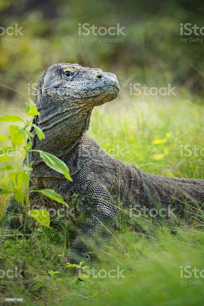 Komodo Dragon Photo : komodo, dragon, photo, Wildlife, Komodo, Dragon, Stock, Photo, Download, Image, IStock