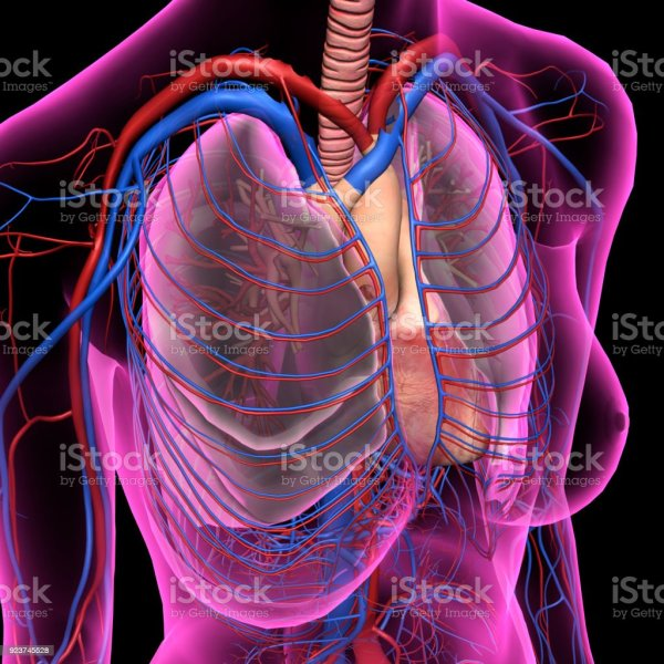 20 Chest Heart And Lungs Anatomy Pictures And Ideas On Meta Networks