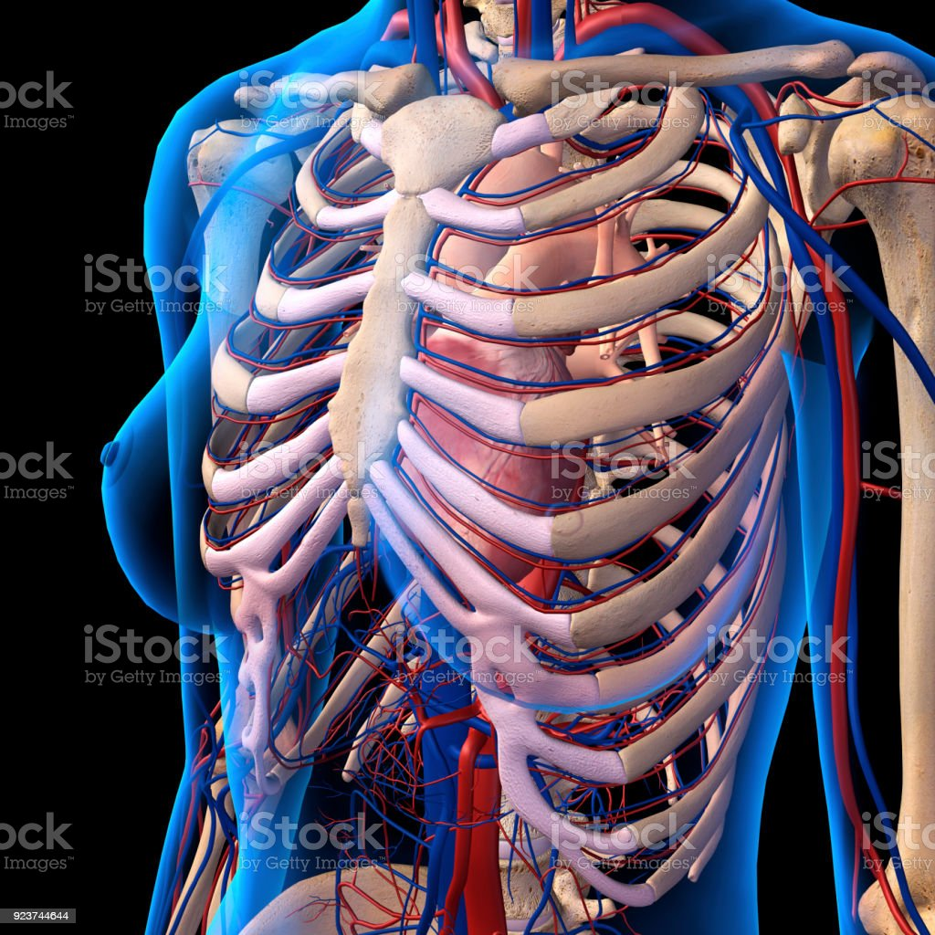 rib cage bone diagram 277v 3 way switch wiring exelent female anatomy image human