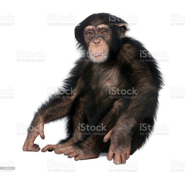 Young Chimpanzee Simia Troglodytes Stock &