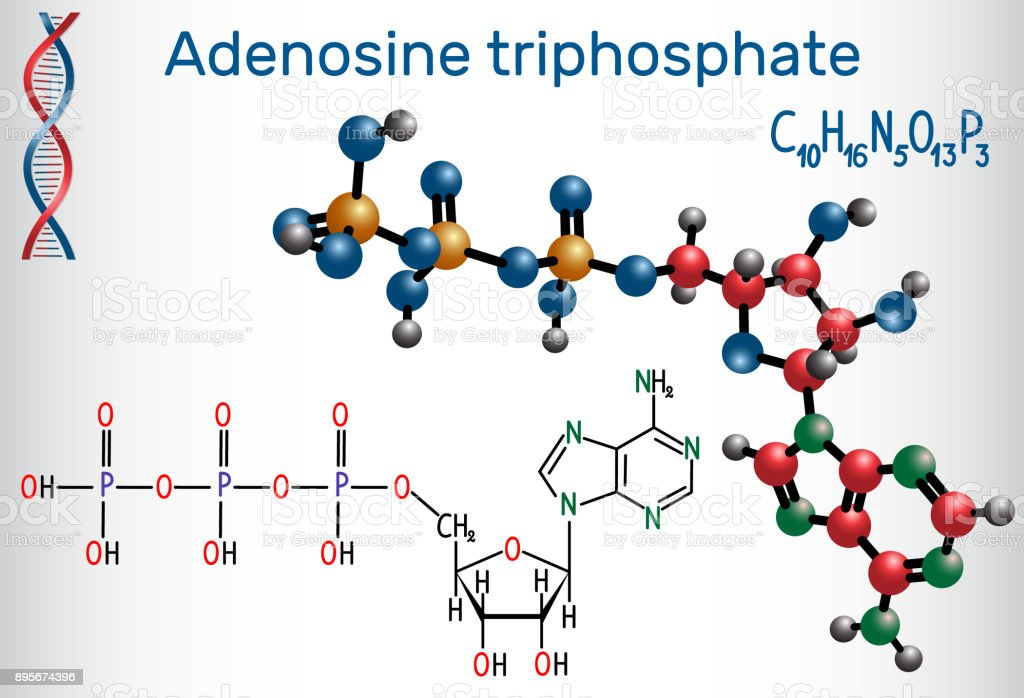 Adenosine Triphosphate Molecule Is Intracellular Energy