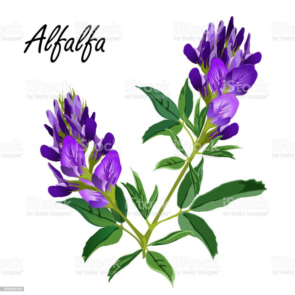 royalty free alfalfa medicago sativa