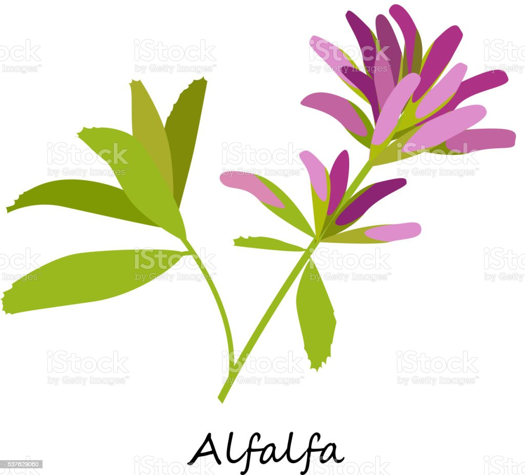 alfalfa clip art vector