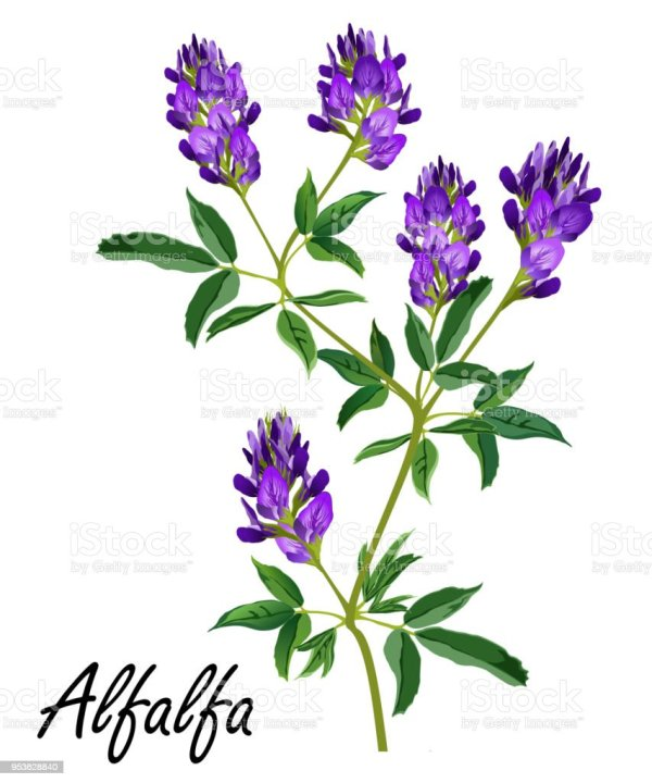 alfalfa plant with flowers vector