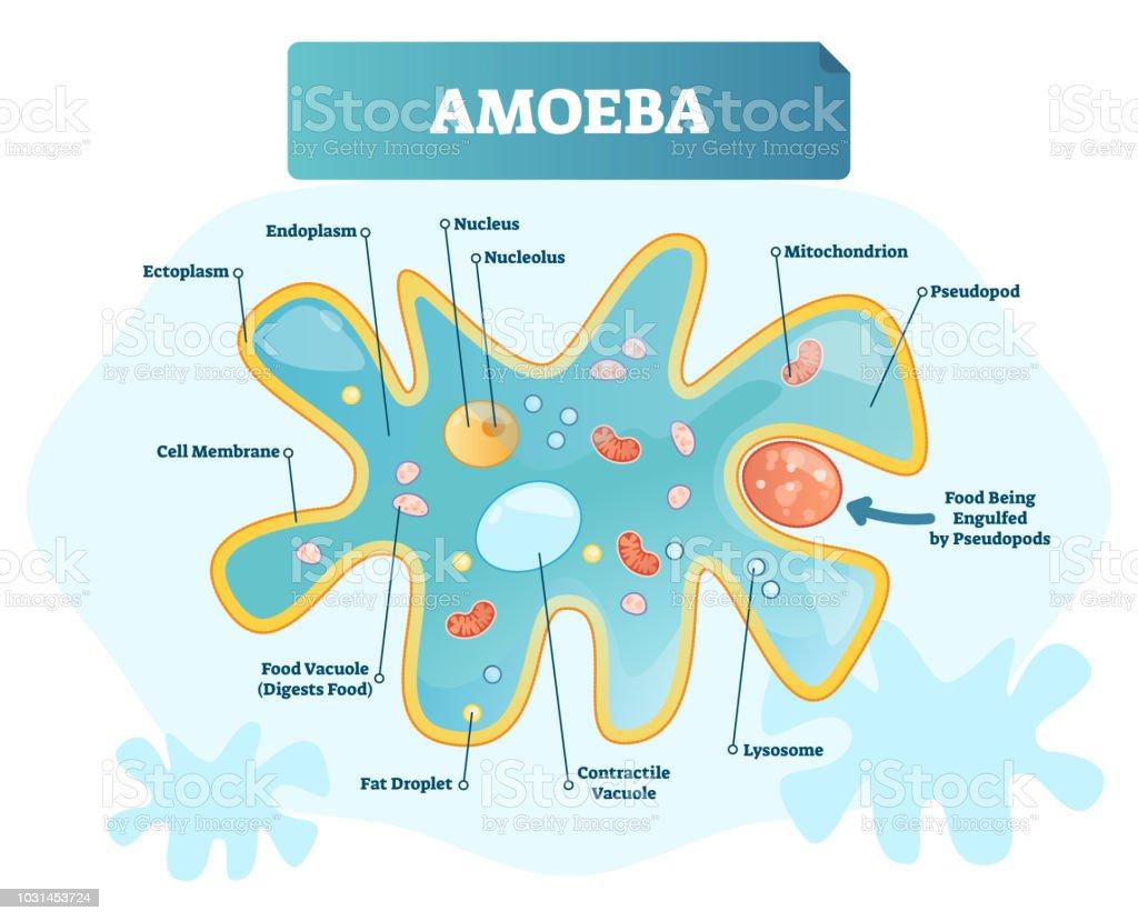 hight resolution of amoeba labeled vector illustration single cell animal structure scheme royalty free amoeba labeled