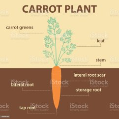 Carrot Plant Diagram 2002 Ford Focus Parts Anatomy With Root Stock Vector