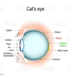 anatomy of the cats or dogs eye stock vector art more images of dog and cat eye diagram [ 1024 x 1024 Pixel ]