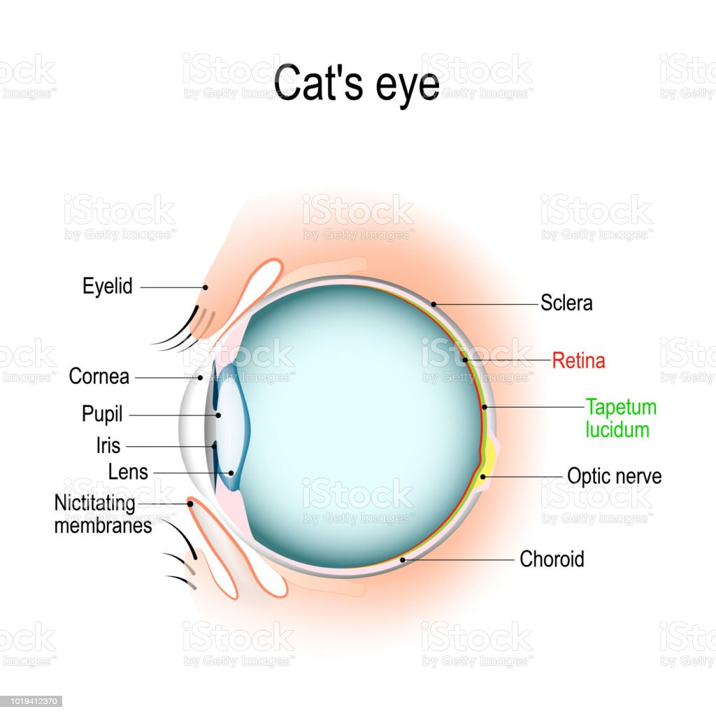 hight resolution of anatomy of the cats or dogs eye stock vector art more images of dog and cat eye diagram