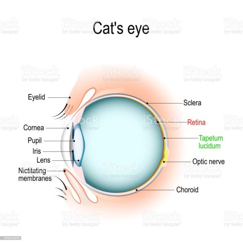 small resolution of anatomy of the cats or dogs eye stock vector art more images of dog and cat eye diagram