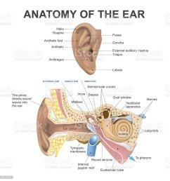 anatomy of the ear illustration  [ 981 x 1024 Pixel ]
