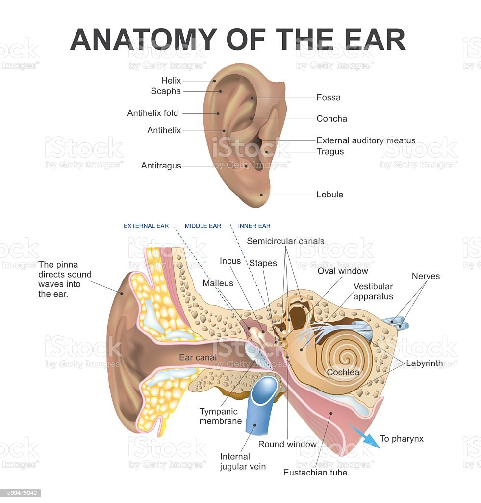 hight resolution of anatomy of the ear illustration