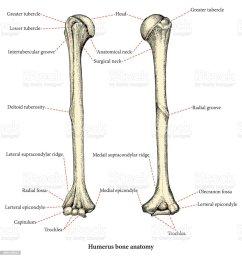 anatomie des menschlichen oberarm knochen hand zeichnung lower body diagram muscles male lower body diagram [ 963 x 1024 Pixel ]