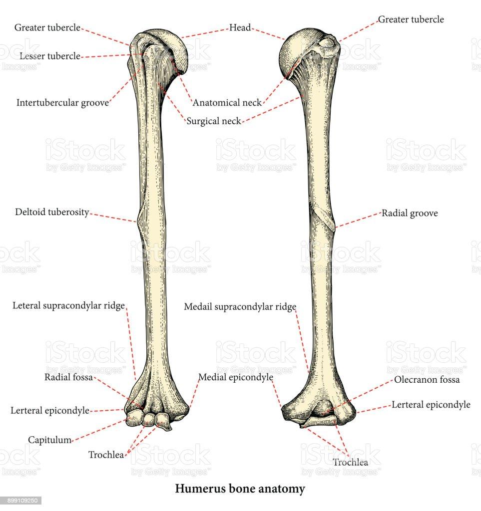 medium resolution of anatomie des menschlichen oberarm knochen hand zeichnung lower body diagram muscles male lower body diagram