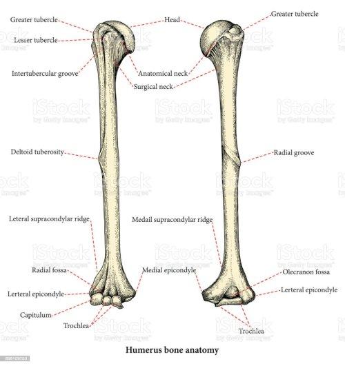 small resolution of anatomie des menschlichen oberarm knochen hand zeichnung lower body diagram muscles male lower body diagram