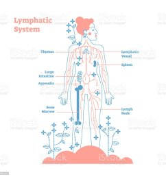 artistic lymphatic system anatomical vector illustration diagram poster decorative and elegant medical scheme with lymph [ 1024 x 1024 Pixel ]