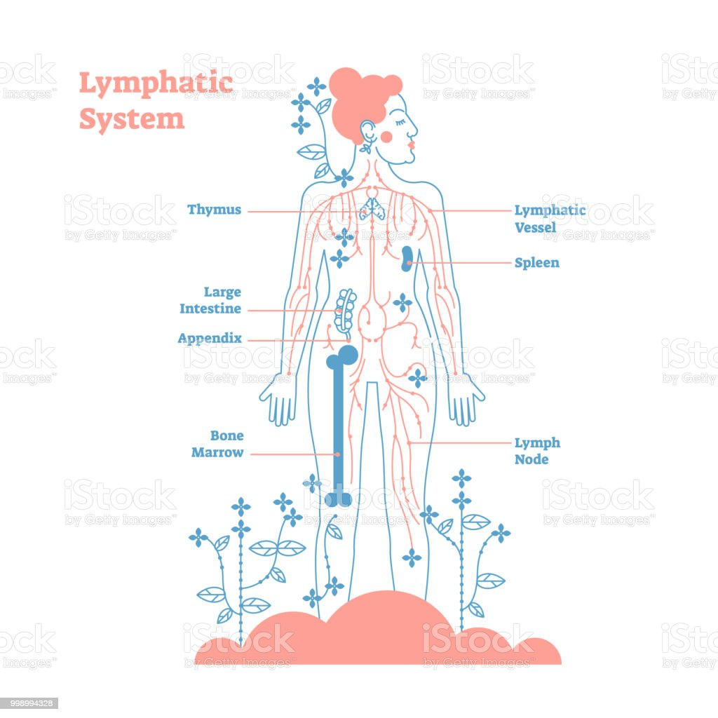 lymph circulation diagram toyota trailer wiring harness artistic lymphatic system anatomical vector illustration